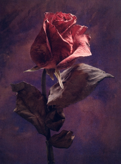 dried-rose1